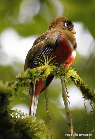 Collared Trogon in Otun-Quimbaya