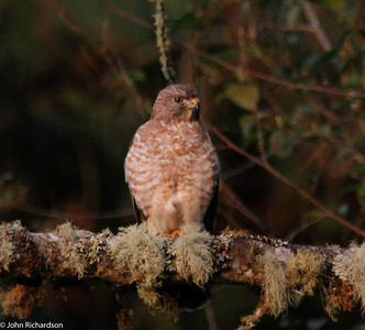 Broad-winged Hawk - Rio Blanco