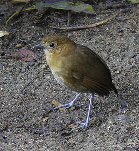 Brown-banded Antpitta in Rio Blanco