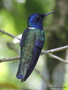 White-necked Jacobin at lunch restaurant
