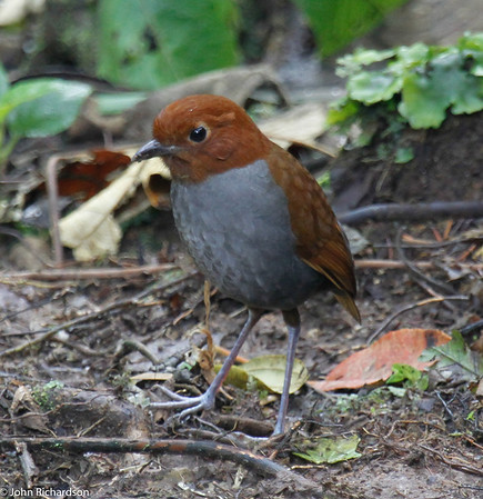 Bi-colored Antpitta in Rio Blanco