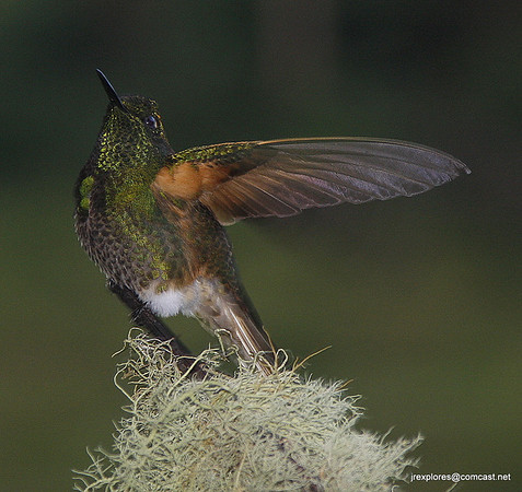 Buff-tailed Coronet at Rio Blanco