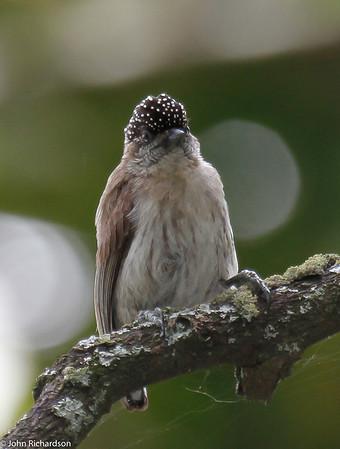 Grayish Piculet - Laguna de Sonso
