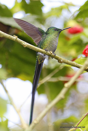 Long-tailed Sylph near El Faro
