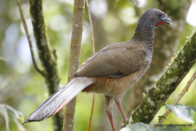 Colombian Chachalaca on the road to Farallones