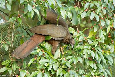 Crested Guan (Penelope purpurascens) - Arenal