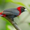 Crimson-collared Tanager (Ramphocelus sanguinolentus) - Danaus