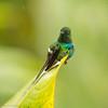 Green Thorntail (Discosura conversii) - Mirador Cinchona