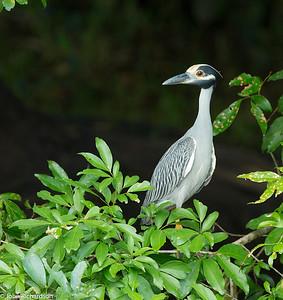 Yellow-crowned Night-Heron (Nyctanassa violacea) - río San Carlos