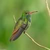 Rufous-tailed Hummingbird (Amazilia tzacatl) - Laguna del Lagarto