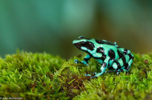 Green and Black Poison Dart Frog (Dendrobates auratus) - Laguna del Lagarto