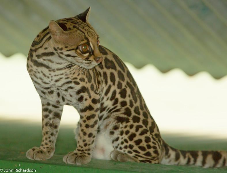 Margay ((Leopardus wiedii) - Arenal