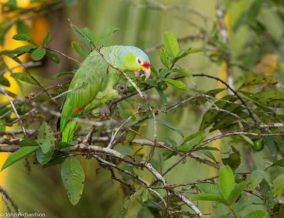 Red-lored Parrot (Amazona autumnalis) - Laguna del Lagarto