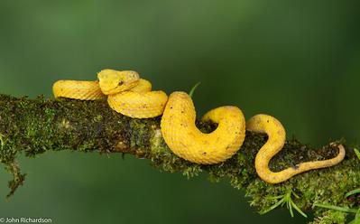 Eyelash Viper (Bothriechis schlegelii) - Laguna del Lagarto