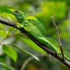Emerald Basilisk (Basiliscus basiliscus) - Danaus
