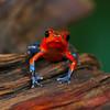 Strawberry Poison Dart Frog (Oophaga pumilio) - Laguna del Lagarto