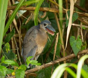 Boat-billed Heron (Cochlearius cochlearius) - río San Carlos