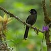 Melodious Blackbird (Dives dives) - Bosque de Paz