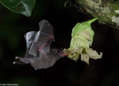 Jamaican Fruit Bat (Desmodus rotundus) - Laguna del Lagarto