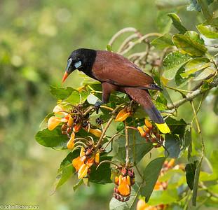 Montezuma Oropendula (Psarocolius montezuma) - Moneverde