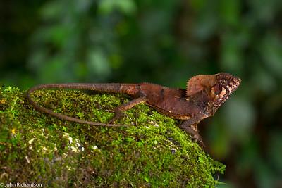 Basilisk Lizard (Basiliscus basiliscus) - Laguna del Lagarto