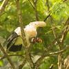 King Vulture (Sarcoramphus papa) - Laguna del Lagarto