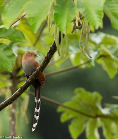 Squirrel Cuckoo (Piaya cayana) - Laguna del Lagarto