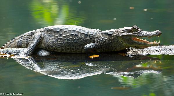 Spectacled Caiman (Caiman crocodilus) - Danaus