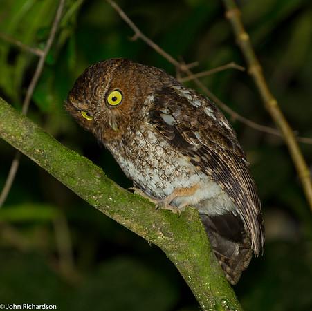 Bare-shanked Screech Owl (Megascops clarkii) - Bosque de Paz