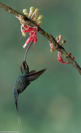 Green Hermit female(Phaethornis guy) - Bosque de Paz