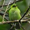Green Honeycreeper - female - La Selva
