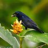 Blue-black Grosbeak - La Selva