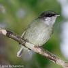 White-ruffed Manakin - female - La Selva