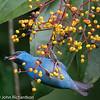 Blue Dacnis - La Selva