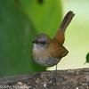Black-billed Nightingale-Thrush - Talamanca
