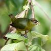 Olive-backed Euphonia - female