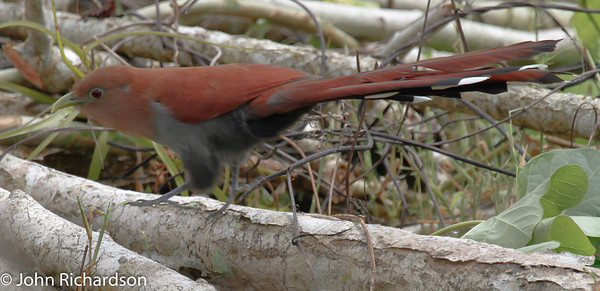 Squirrel Cuckoo - Cerro Lodge
