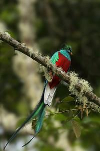 Resplendant Quetzal, San Gerardo de Dota, Costa Rica
