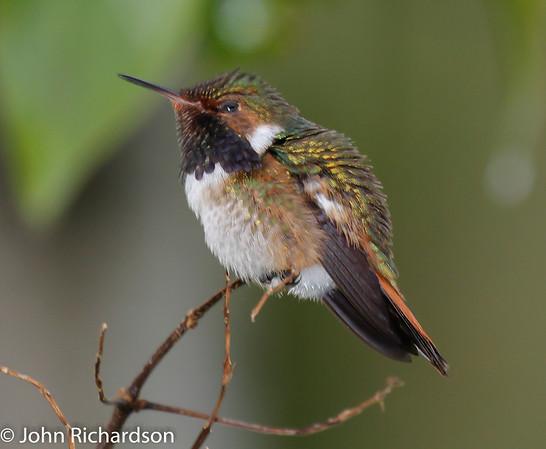 Volcano Hummingbird - Savegre