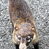 Coati looking for a handout