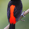 Passerini's Tanager - Arenal Lodge