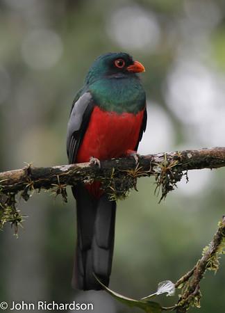 Slaty-tailed Trogon - La Selva