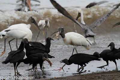 Wood Storks and Black Vultures - west coast