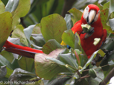 Scarlet Macaw - Tarcoles River