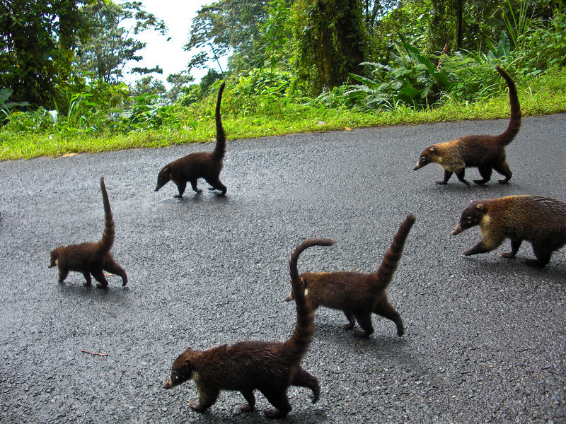 Ring-tailed coatis