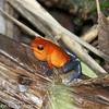 Strawberry Poison-dart Frog - La Selva