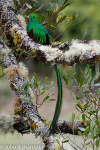Resplendent Quetzal - near Savegre