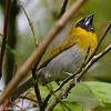 Black-faced Grosbeak - La Selva