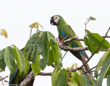 Chestnut-fronted Macaw (Ara severus) - Sani Lodge