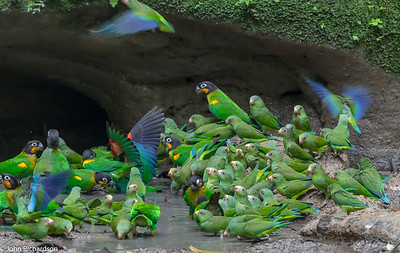 Cobalt-winged Parakeet (Brotogeris cyanoptera) - Napo Clay Lick